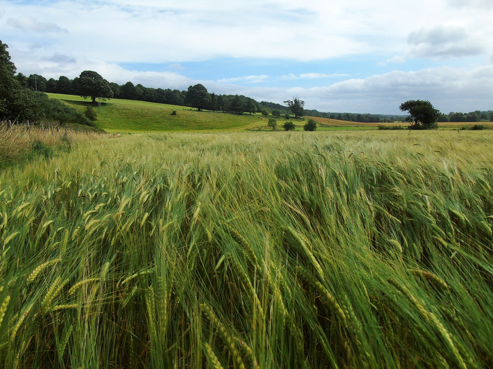 Alison Alder Field of Barley Looking Toward Cambusnethan Woodlands