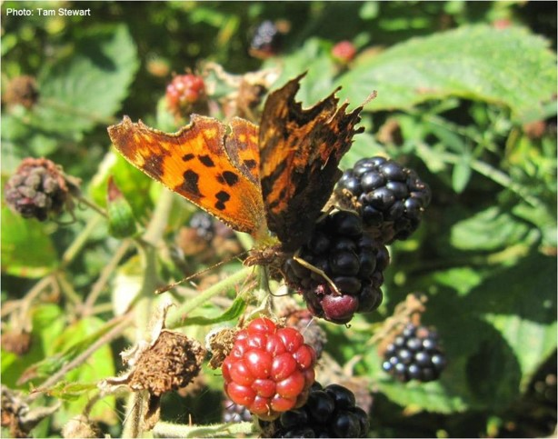 Comma butterfly, species of the month for September. Image copyright Tam Stewart