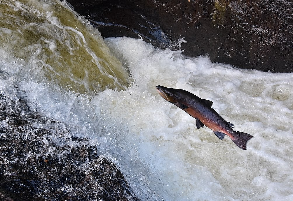 Leaping salmon, Malcolm Muir, South Lanarkshire Council