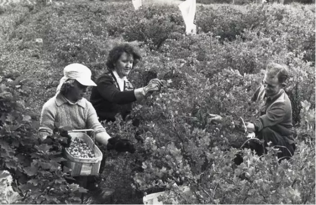 Gooseberry pickers in the Clyde Valley during the 1960s. PIC Thanks to South Lanarkshire Leisure and Culture Libraries and Museums Service.