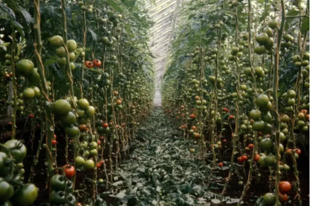 "Greenhouses popped up ""like mushrooms"" to grow tomatoes in the Clyde Valley. PIC: Thanks to South Lanarkshire Leisure and Culture Libraries and Museums Service."