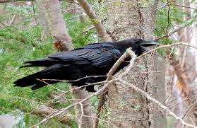 Raven, courtesy of Colleen of Newington via Flickr / Creative Commons