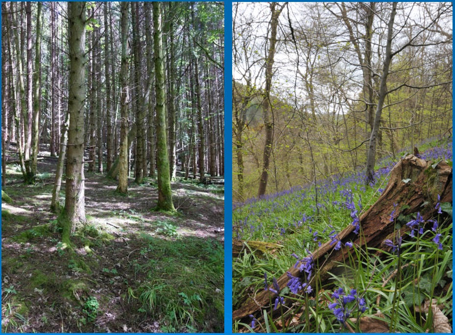 Conifer plantations (left) stifle the native wildlife, unlike the natural ancient woodland (right), where native wildlife such as bluebells thrive