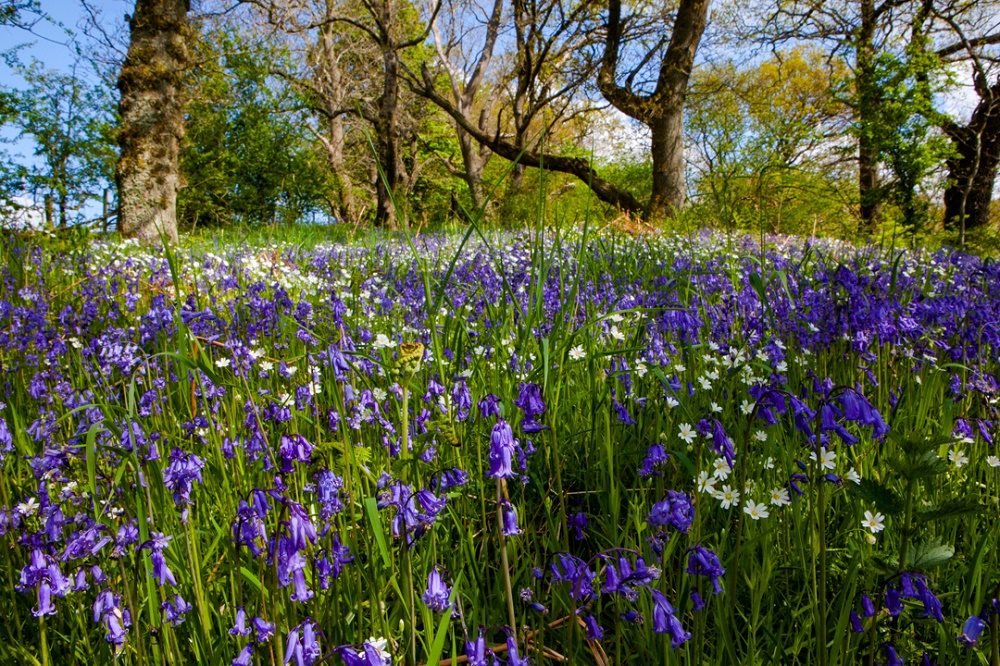 The ancient woodland comes alive with carpets of shimmering bluebells in spring