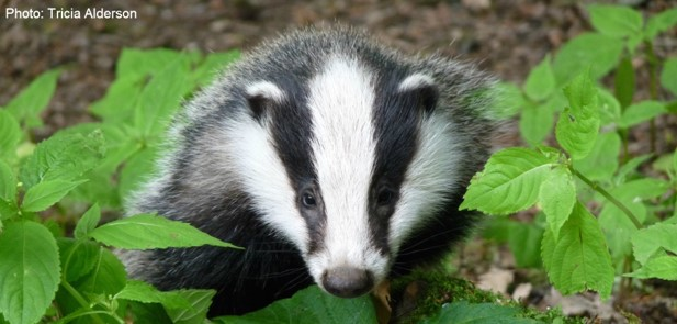 Clyde and Avon Valley Wildlife Campaign species of the month for April - the badger