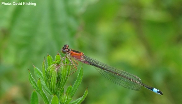 Clyde and Avon Valley Wildlife Campaign species of the month for June - the blue-tailed damselfly