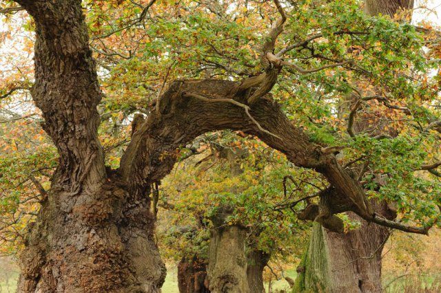 The ancient Cadzow Oaks in Chatelherault Country Park, Hamilton, were planted nearly seven centuries ago when the park was part of a medieval hunting ground and are thought to be amongst the oldest in the UK.