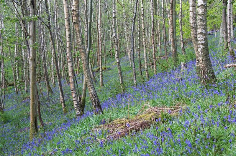 Native bluebells carpet the woodland floor in spring time - signifying the age and quality of the ancient woodland