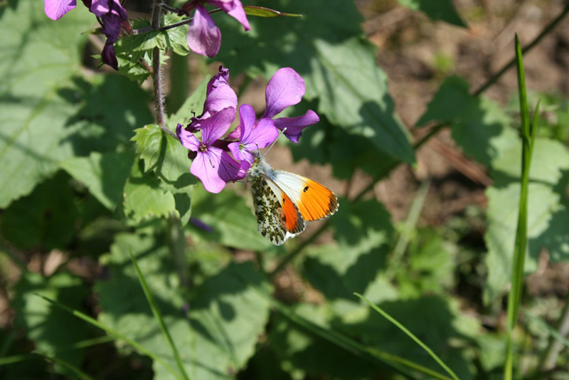 An orange tip butterfly - part of the wide variety of wildlife to be seen on Dalzell Estate