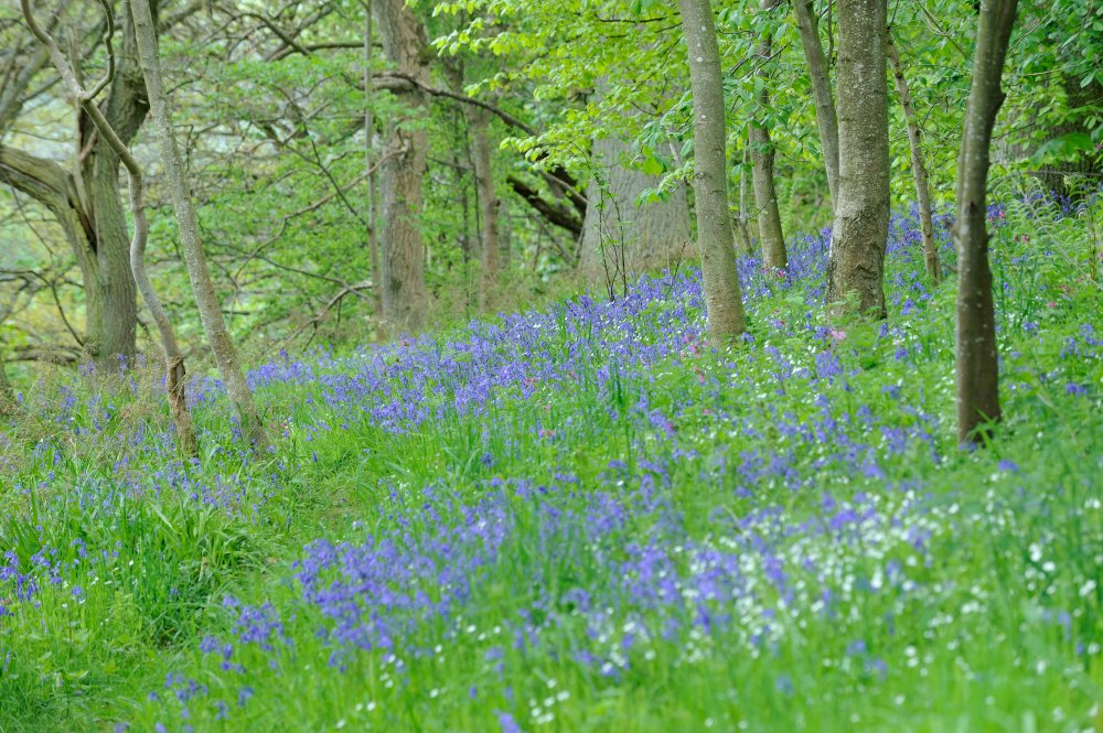 Bluebells carpet the floor at Cleghorn Glen in spring