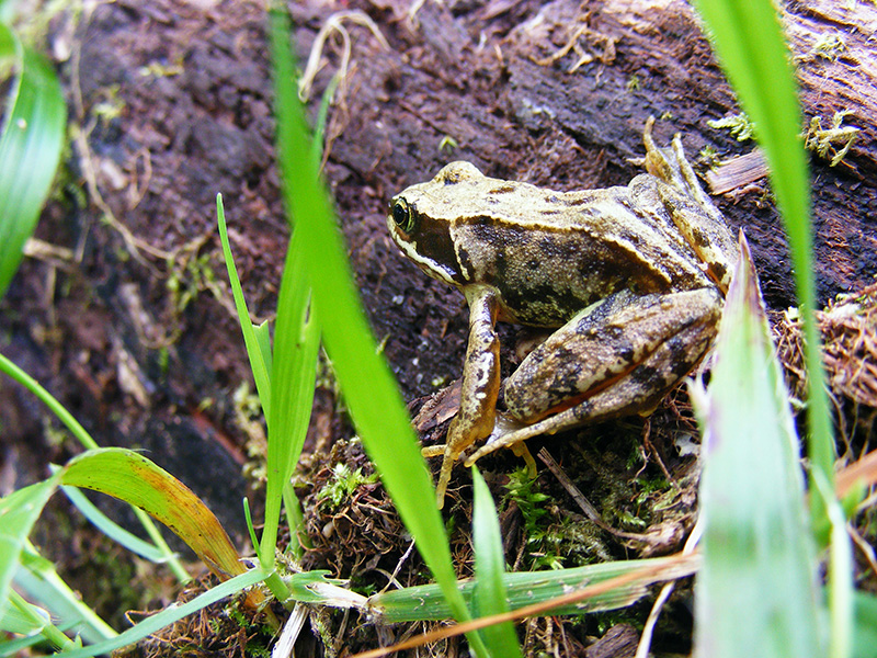 Common Frog at Lower Nethan Gorge