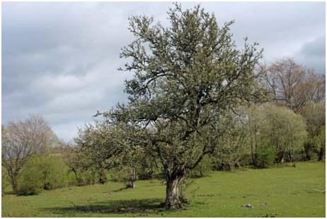 Remaining apple tree, North Park, with an old apple tree remaining from the orchards