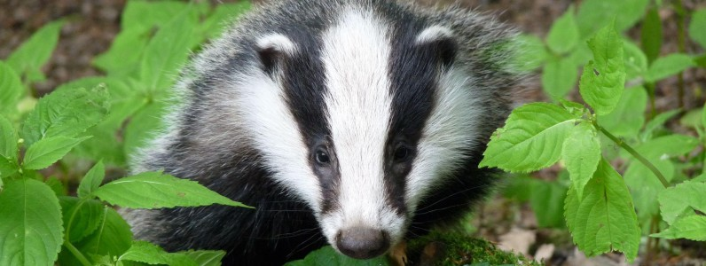 FREE Badgers for Beginners course, Chatelherault