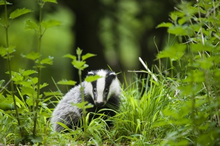 Clyde and Avon Valley Festival 2017: Falls of Clyde Family Badger Watch