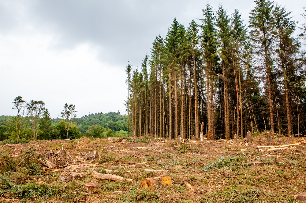 Harvested conifers secure future of Chatelherault
