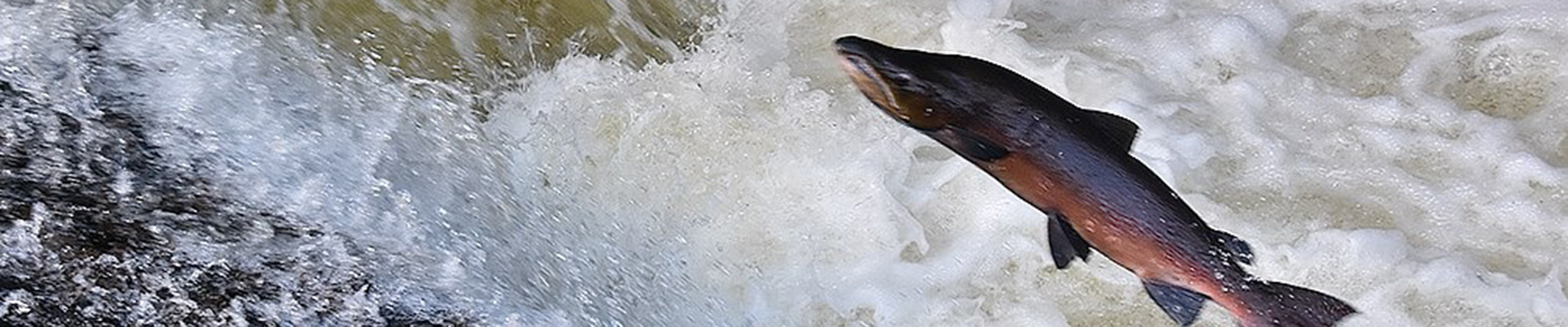 Majestic salmon to leap the Avon Falls once again
